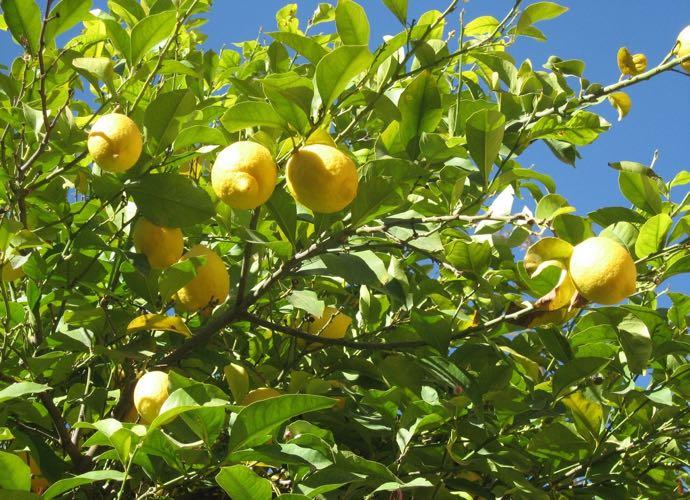 Les fameux citrons de la côte amalfitaine... Un délice !